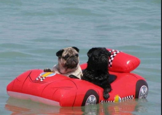 Awesome Pugs's Photo