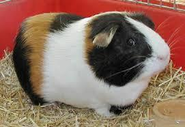 guinea pig page's Photo