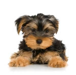 Yorkies are Amazing!