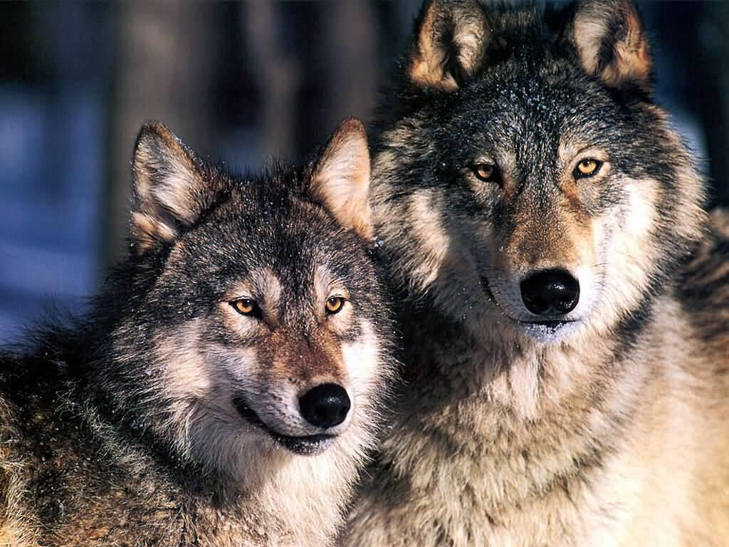 wolf lovers's Photo