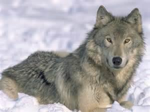 Help save the grey wolves!