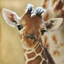 the giraffe page!