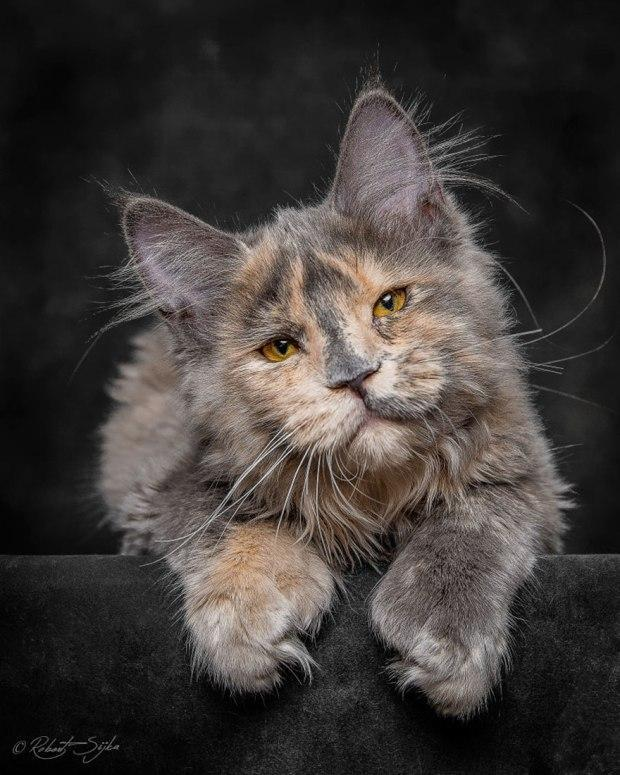 How cute are Maine Coon's?