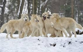 How long do you think you can survive As a wolf in A very hungry pack?