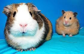 guinea pigs or hamsters?