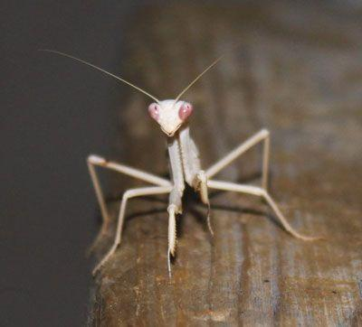Do Albino Praying Mantises Suck
