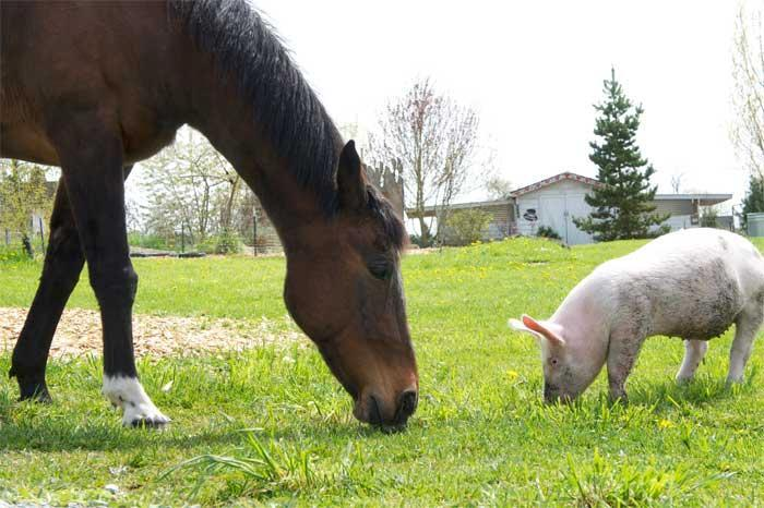 Horses or piglets