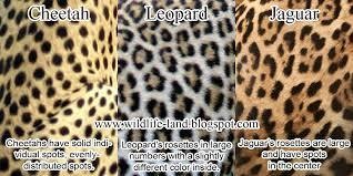 What is the best? Leopards, Cheetahs or Jaguars?