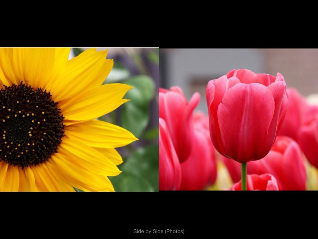 Do you like. Sunflowers more or Tulips?