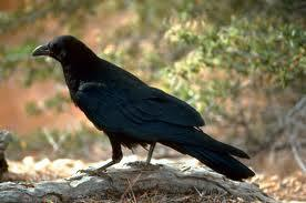 Do you like crows?