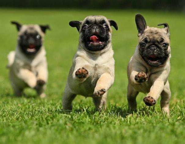 What Pug Is The Cutest?