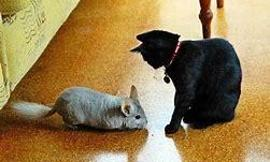 Would you rather have a chinchilla or have a kitten?