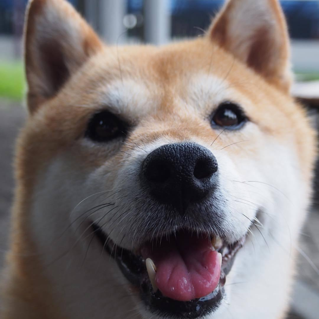 Are shiba inus cute to you?