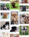 Have you ever heard of a Shihpoo?