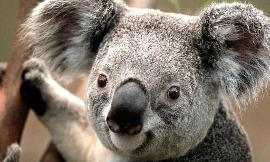 do you like koalas?