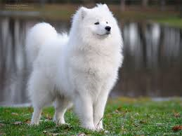 Delilah (For a Samoyed, or white husky.) GIRL