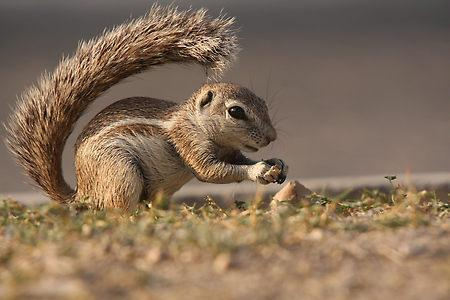 ...or a squirrel Tail