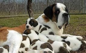 St. Bernard! they are so big and cute!