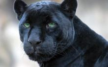Yesh! Iz be Panther!