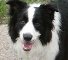 border collie mixed with sheep dog