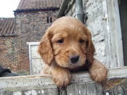 Cocker Spaniel (my vote)