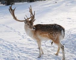 Reindeer ( my choice )