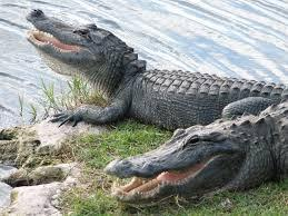Swim with alligators to save one of your parent's life