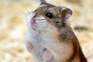 Hamster/Gerbil/Other mini pets Including Mice. (Rodents)