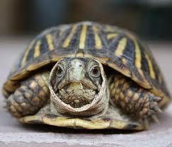 Turtles are turtles. There is no other explanation for it.