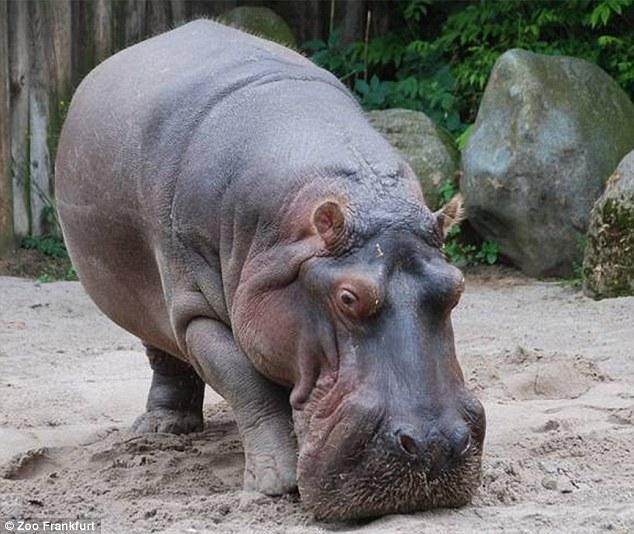 Have a hippo pet.