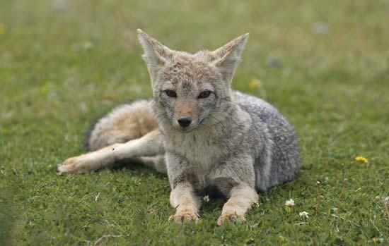 South American Gray Fox