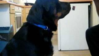 Rottweiler well trained
