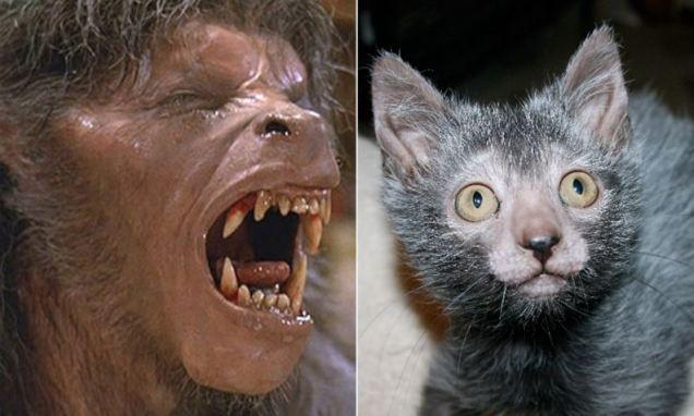 Breeders develop Lykoi cat that looks like a WEREWOLF and acts like a DOG | Daily Mail Online