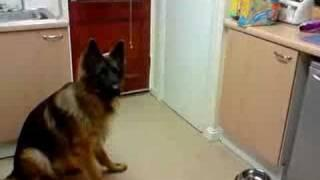 German Shepherd doing the feet trick!!!