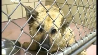Animal Cops Houston - Junkyard Dog