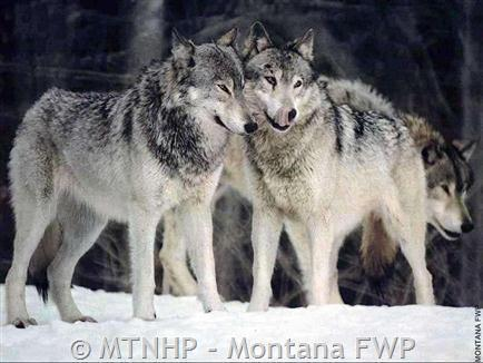 Gray Wolf | Endangered Species Coalition