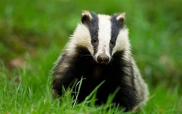 Badgers Quiz