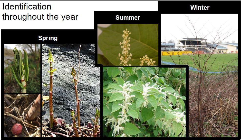 Japanese Knotweed Quiz