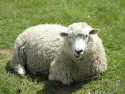 What Do You Know About Sheep?