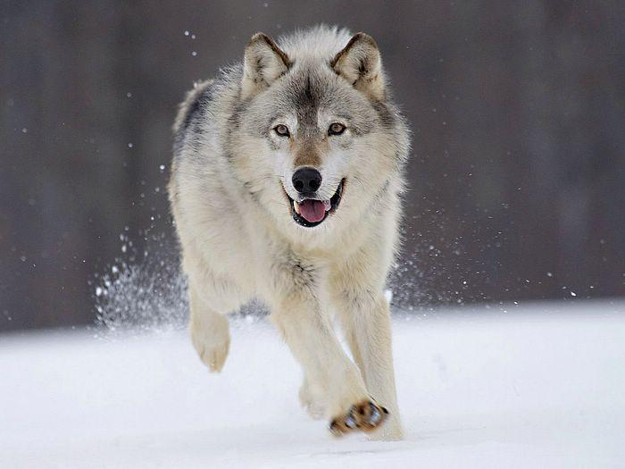 how much do you know about wolves