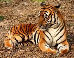 How Well Do YOU Know the Amur Tiger?