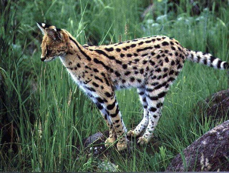 How much do you know about servals?