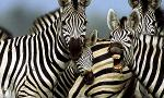 The Zebra Quiz