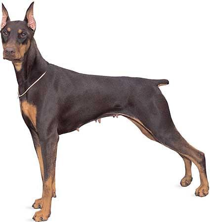 How much do you know about Dobermens