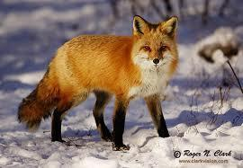 what fox r u like( defines the personality of the animal u r