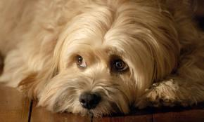 how much do you know about tibetan terriers?