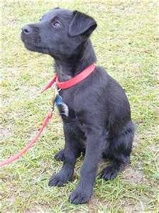 how well do you know the breed? - Patterdale Terrier