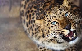 How much do you know about the Leopard ( Panthera Pardus )