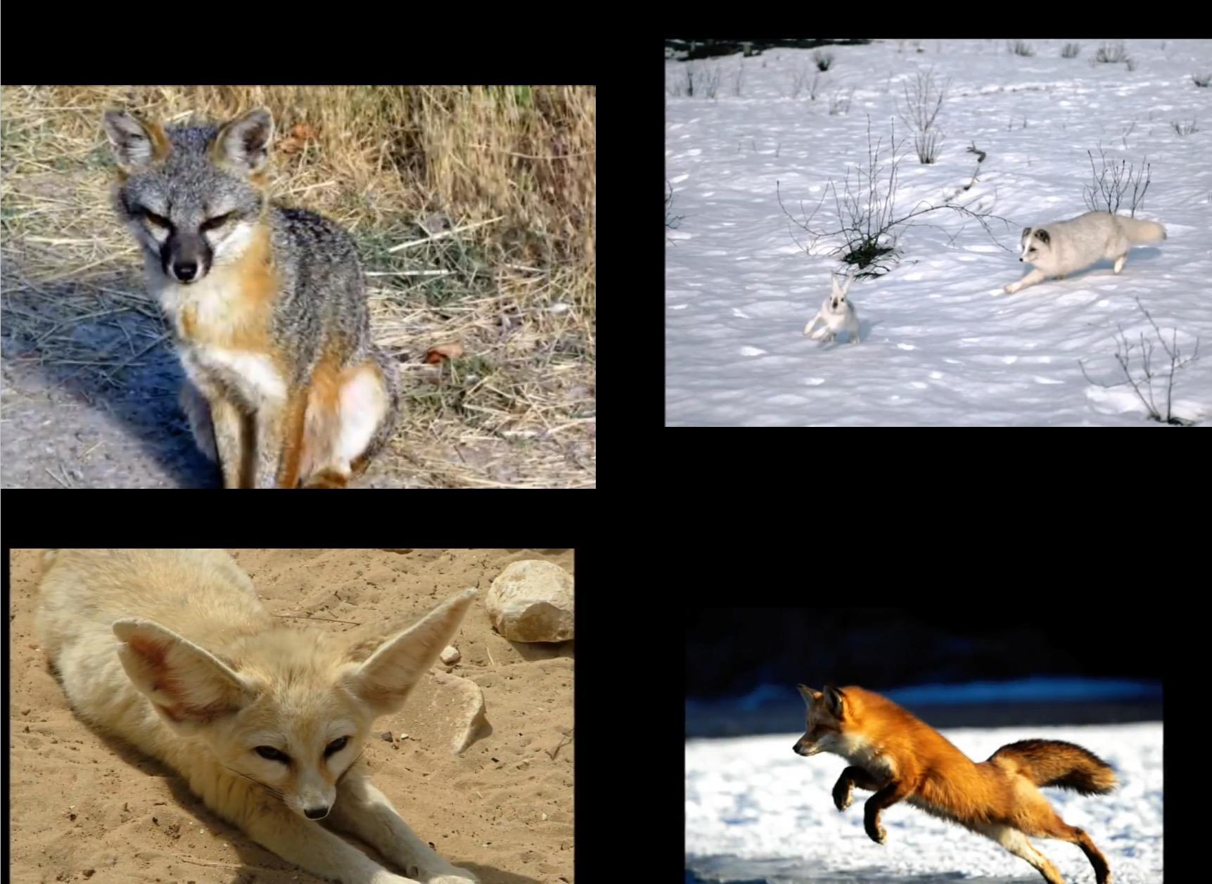 What Fox Are You?