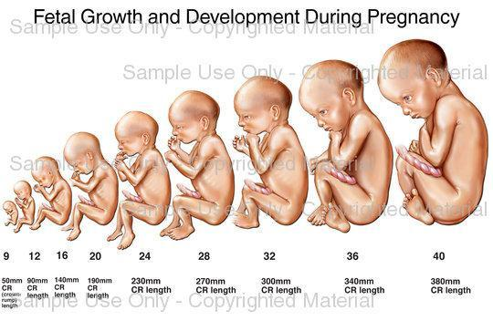 fetal development from conception to birth